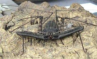 Arachnid - An amblypygid