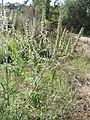 Ambrosia artemisiifolia kz12.jpg
