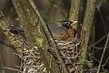 American Robin - Point Pelee - Ontario 10052017-FJ0A3222 (25942969268).jpg