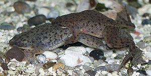 Pipidae - African dwarf frog