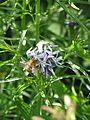 Amsonia hubrichtii - Flickr - peganum (3).jpg