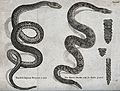 An Aesculapian serpent and rattle snake with sections of it' Wellcome V0022454.jpg
