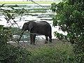 An elephant near the Zambezi river, Botswana.jpg
