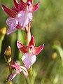Anacamptis papilionacea (flower).jpg