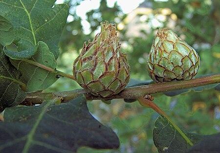 Andricus foecundatrix on Quercus robur. vrouwelijke gal op zomereik.jpg