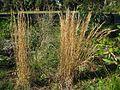 Andropogon virginicus plant late flower2 (6948587175) (2).jpg