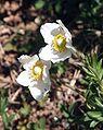 Anemone sylvestris 210407.jpg