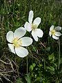Anemone sylvestris sl15.jpg