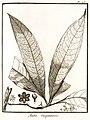 Aniba guyannensis Aublet 1775 pl 126.jpg