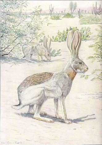 Antelope jackrabbit - Artistic depiction of an Antelope Jackrabbit