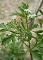 Anthriscus sylvestris subsp. nemorosus kz02.jpg