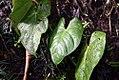 Anthurium andreanum 3zz.jpg