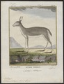 Antilope eleotragus - 1700-1880 - Print - Iconographia Zoologica - Special Collections University of Amsterdam - UBA01 IZ21400219.tif