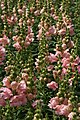 Antirrhinum majus Sonnet Pink 2zz.jpg