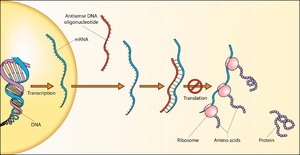 Sense (molecular biology) - Image: Antisense DNA oligonucleotide