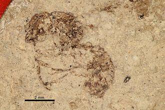 1930 in paleontology - Aphaenogaster mayri