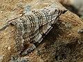 Aplocera plagiata - Treble-bar (40230039534).jpg