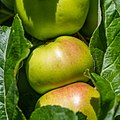 Apple NZ7 0228 (50176553351).jpg
