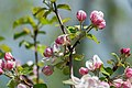Apple Tree Flower Blossoms Macro PLT-FL-AB-6.jpg