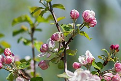 Apple Tree Flower Blossoms Macro PLT-FL-AB-6.jpg