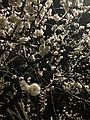 Apricot blossoms at night.jpg