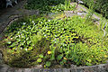 Aquatic plants and pond Gibberd Garden Essex England.JPG