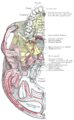 Aqueductuscochleae.PNG