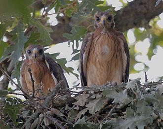 Booted eagle - Booted eagle nest