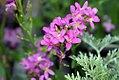 Arabis blepharophylla Spring Charm 4zz.jpg