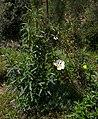 Aracena - Cistus ladanifer 01.jpg