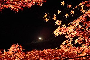 Acer palmatum - Colored leaves of a Japanese maple at the Nison-in temple in Kyoto