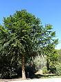 Araucaria bidwillii - Jardín Botánico de Barcelona - Barcelona, Spain - DSC08926.JPG
