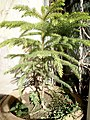 Araucaria columnaris (Coral Reef Araucaria) potted at Akola, Maharashtra, India1.jpg