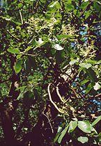 Arbutus menziesii 1.jpg