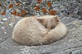 Arctic Fox 2012-06-09 (1) (7982765293).jpg