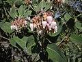 Arctostaphylos viscida 9781.JPG