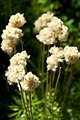 Argentina - Bariloche trekking 151 - fluffy seedlings (6798057239).jpg