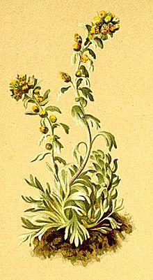 Genepi Wikipedia