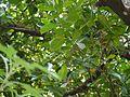 Artocarpus ¿ species ? (5595028441).jpg
