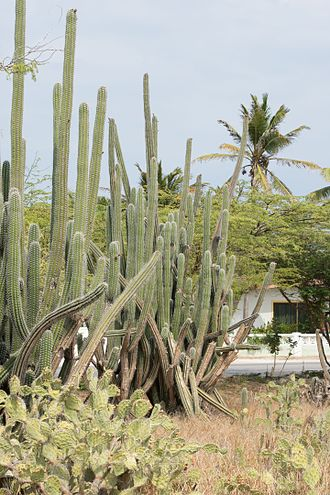 Aruba - Yatu cactus growing in Aruba