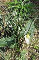 Arum creticum Marmaris White - Flickr - peganum (1).jpg