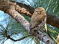 Asian Barred Owlet (Glaucidium cuculoides) (40995332844).jpg