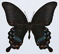 Asian Swallowtail (Papilio lowii) underside (8420067759).jpg