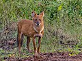 Asiatic Wild Dog (42428488440).jpg