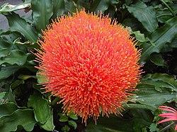 Asparagales - Scadoxus puniceus 1.jpg
