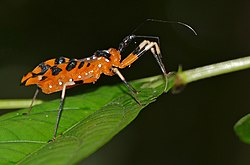Assassin Bug (Triatoma sp.) (23405444660).jpg