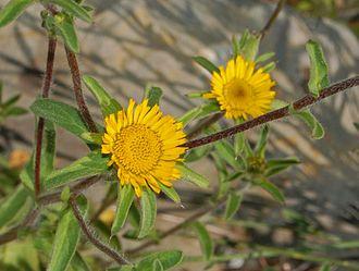 Pallenis spinosa - Flowers of Pallenis spinosa