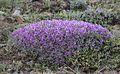Astragalus - Geven 04.jpg