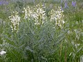 Astragalus drummondii (3647055434).jpg