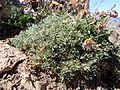 Astragalus kentrophyta (6120972196).jpg